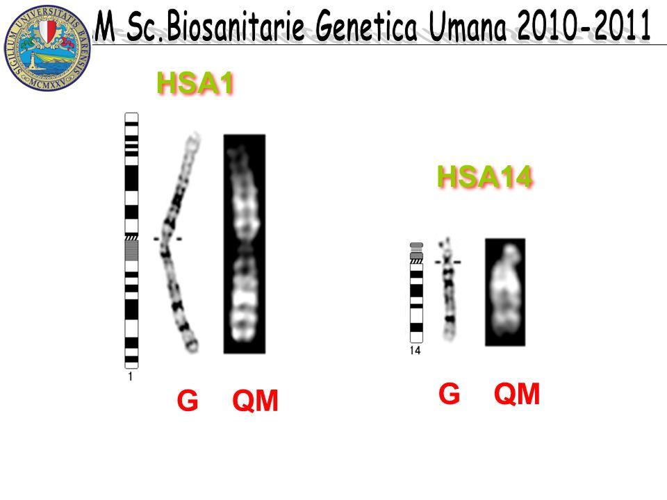 G QM HSA1 HSA14