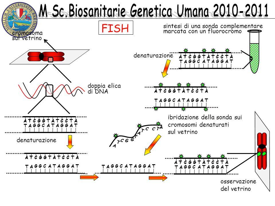 doppia elica di DNA ATCGGTATCCTA T A GGCATAGGAT osservazione del vetrino ATCGGTATCCTA T A GGCATAGGAT denaturazione cromosoma sul vetrino sintesi di un