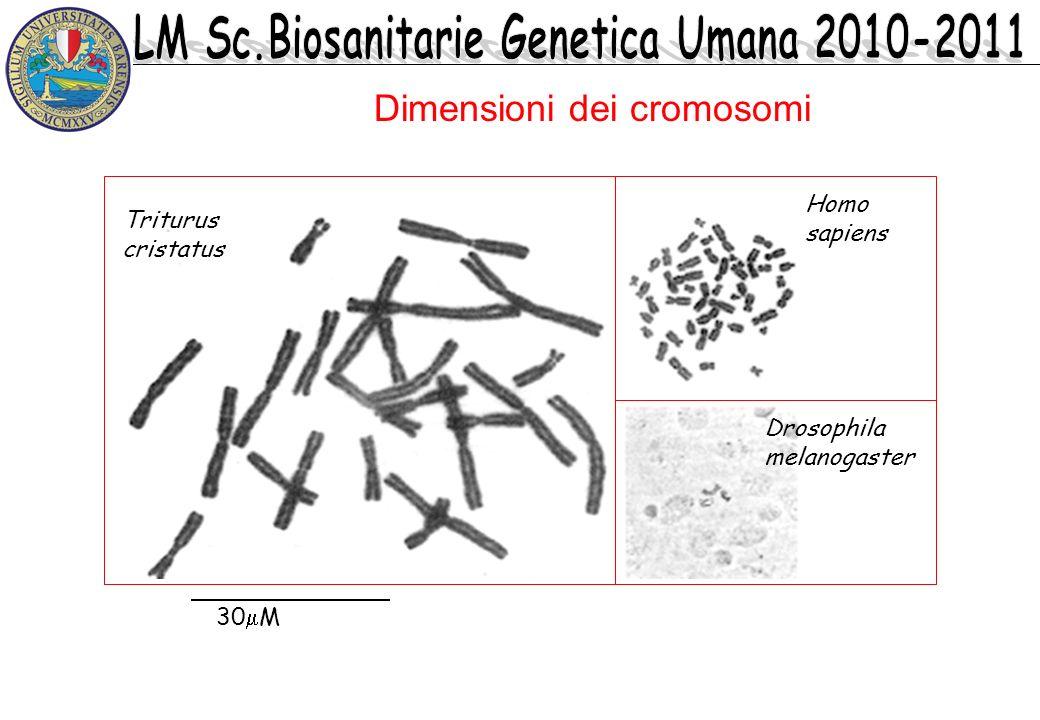 Dimensioni dei cromosomi 30 M Triturus cristatus Homo sapiens Drosophila melanogaster