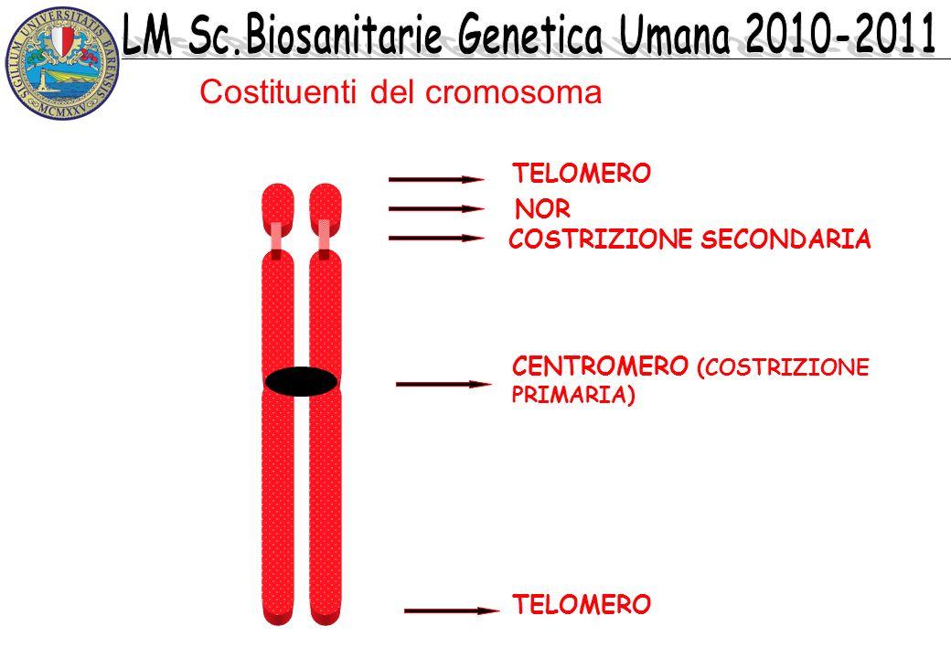 TELOMERO CENTROMERO (COSTRIZIONE PRIMARIA) COSTRIZIONE SECONDARIA Costituenti del cromosoma NOR