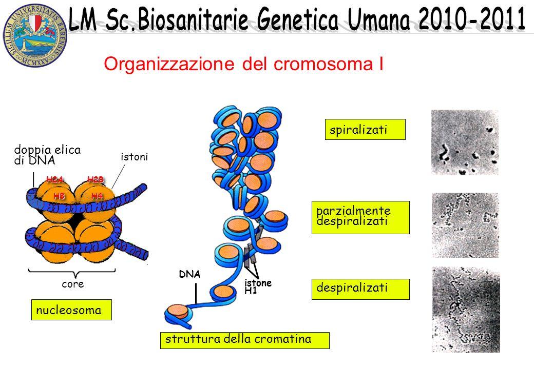 Organizzazione del cromosoma I spiralizati parzialmente despiralizati struttura della cromatina nucleosoma DNA istone H1 istoni doppia elica di DNA H4