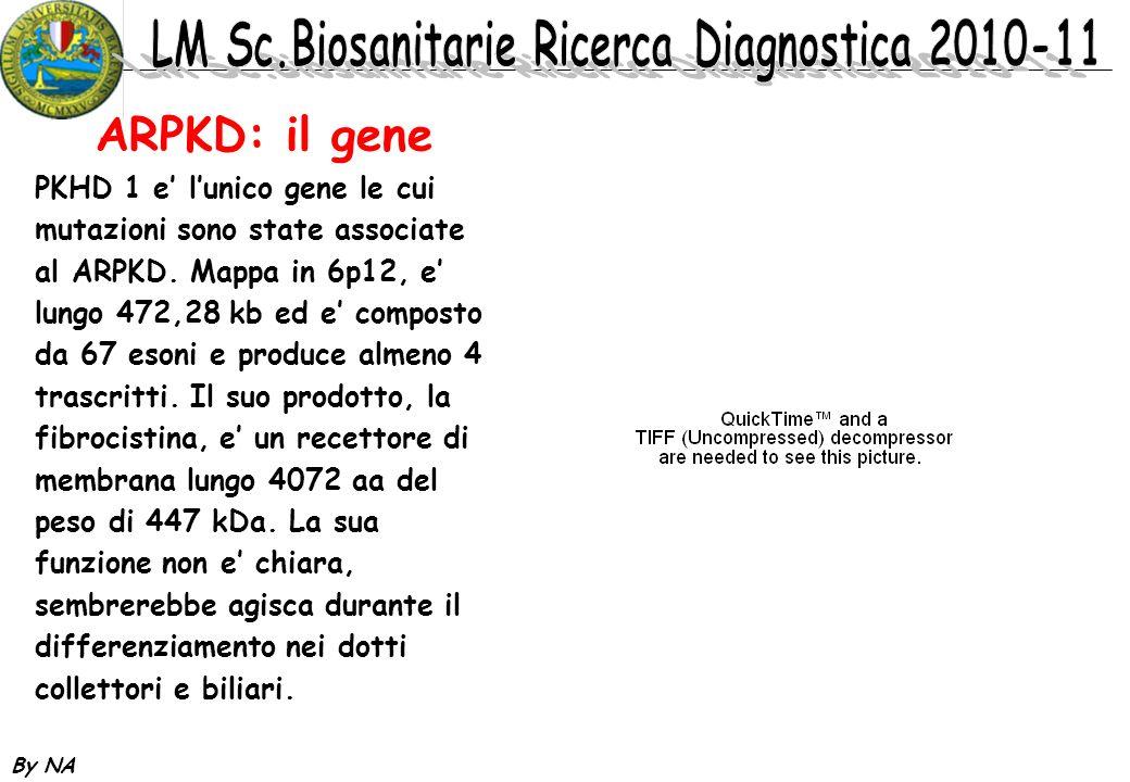 By NA ARPKD: il gene PKHD 1 e lunico gene le cui mutazioni sono state associate al ARPKD. Mappa in 6p12, e lungo 472,28 kb ed e composto da 67 esoni e