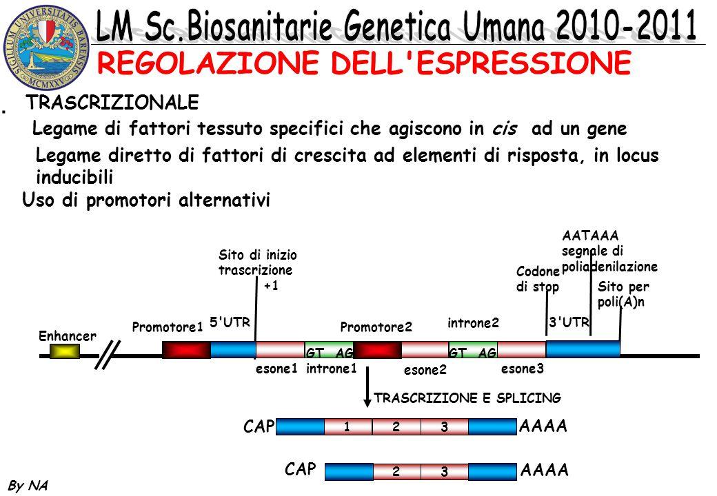 By NA * TRASCRIZIONALE Legame di fattori tessuto specifici che agiscono in cis ad un gene Legame diretto di fattori di crescita ad elementi di rispost