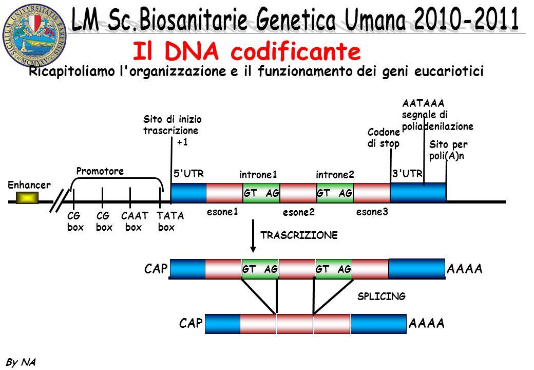 By NA Il DNA codificante Ricapitoliamo l'organizzazione e il funzionamento dei geni eucariotici GT AG AAAACAP Enhancer Promotore CG CG CAAT TATA box b