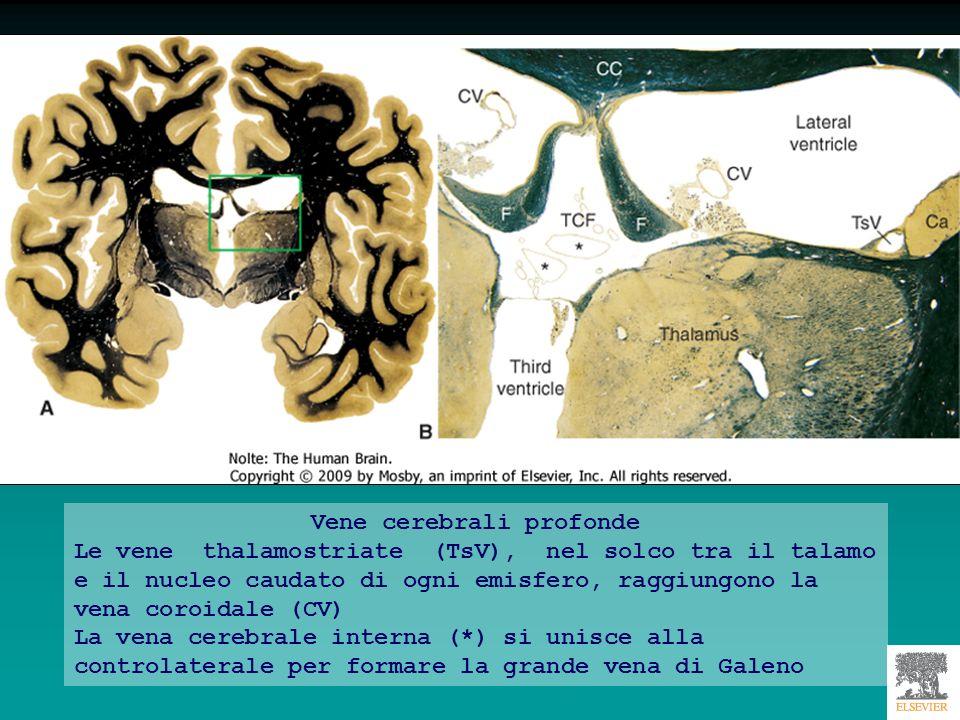 Vene cerebrali profonde Le vene thalamostriate (TsV), nel solco tra il talamo e il nucleo caudato di ogni emisfero, raggiungono la vena coroidale (CV)
