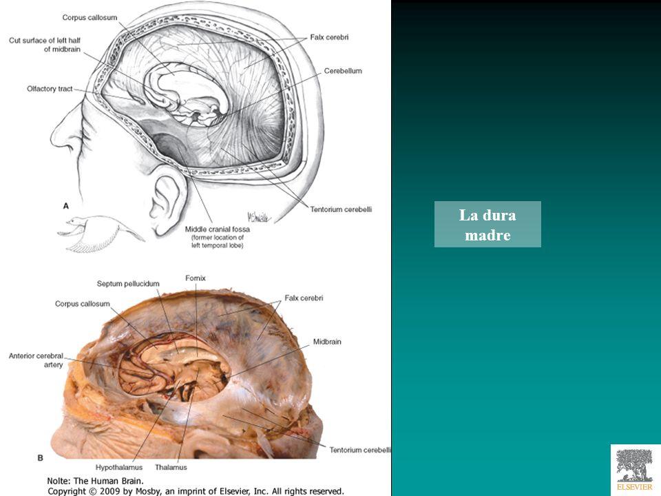 Principali suddivisioni della dura madre Falce cerebrale e tentorio