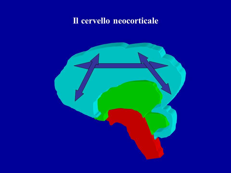 Il cervello neocorticale