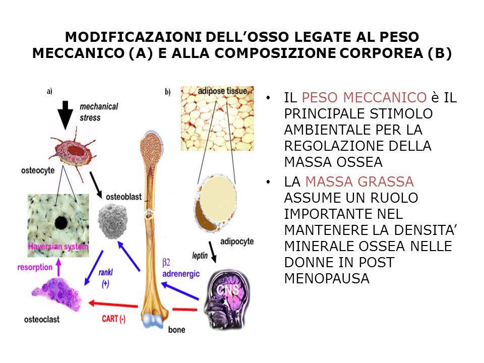 MODIFICAZAIONI DELLOSSO LEGATE AL PESO MECCANICO (A) E ALLA COMPOSIZIONE CORPOREA (B) IL PESO MECCANICO è IL PRINCIPALE STIMOLO AMBIENTALE PER LA REGO