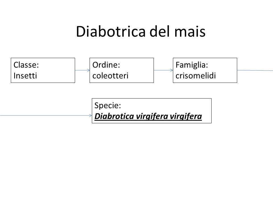 Classe: Insetti Ordine: coleotteri Famiglia: crisomelidi Specie: Diabrotica virgifera virgifera Diabotrica del mais