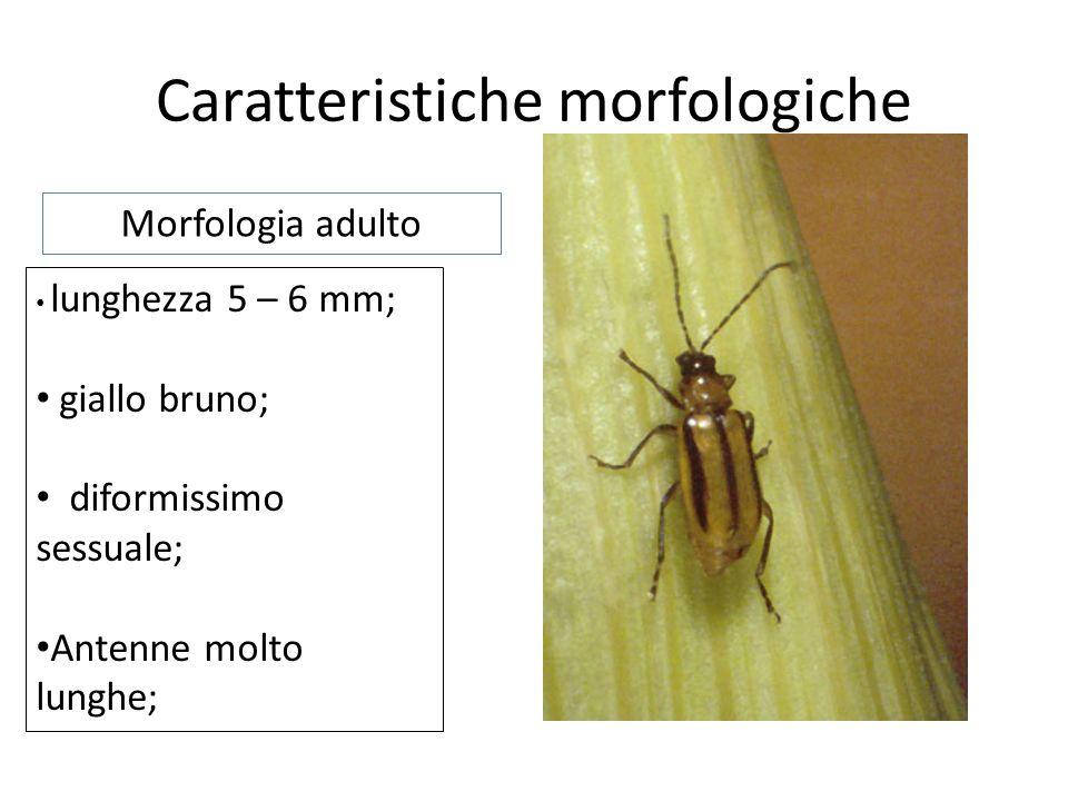 Caratteristiche morfologiche lunghezza fino a 18 mm; biancastre e grinzose; capo scuro; Placca scura sullultimo segmento addominale; Morfologia larva