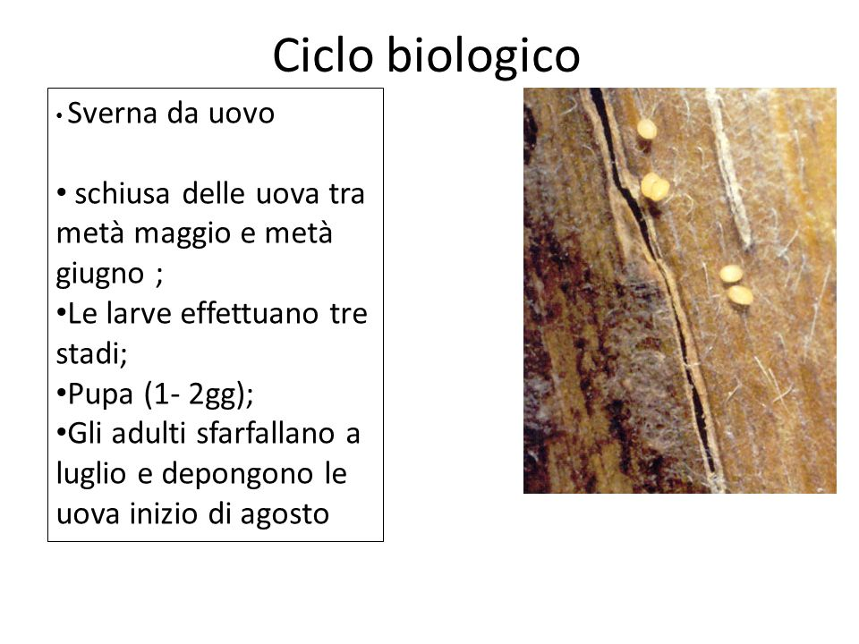 Ciclo biologico Sverna da uovo schiusa delle uova tra metà maggio e metà giugno ; Le larve effettuano tre stadi; Pupa (1- 2gg); Gli adulti sfarfallano