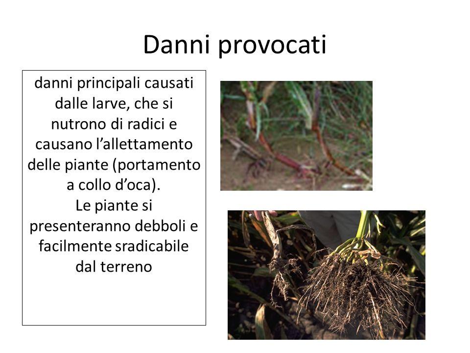 Danni provocati danni principali causati dalle larve, che si nutrono di radici e causano lallettamento delle piante (portamento a collo doca). Le pian