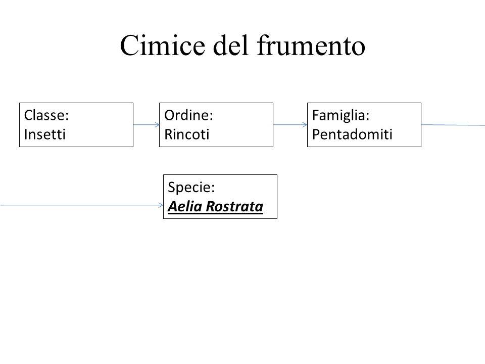 Cimice del frumento Classe: Insetti Ordine: Rincoti Famiglia: Pentadomiti Specie: Aelia Rostrata