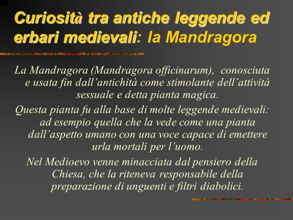 Curiosit à tra antiche leggende ed erbari medievali Curiosit à tra antiche leggende ed erbari medievali: la Mandragora La Mandragora (Mandragora offic
