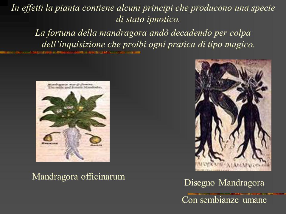 In effetti la pianta contiene alcuni principi che producono una specie di stato ipnotico. La fortuna della mandragora andò decadendo per colpa dellinq