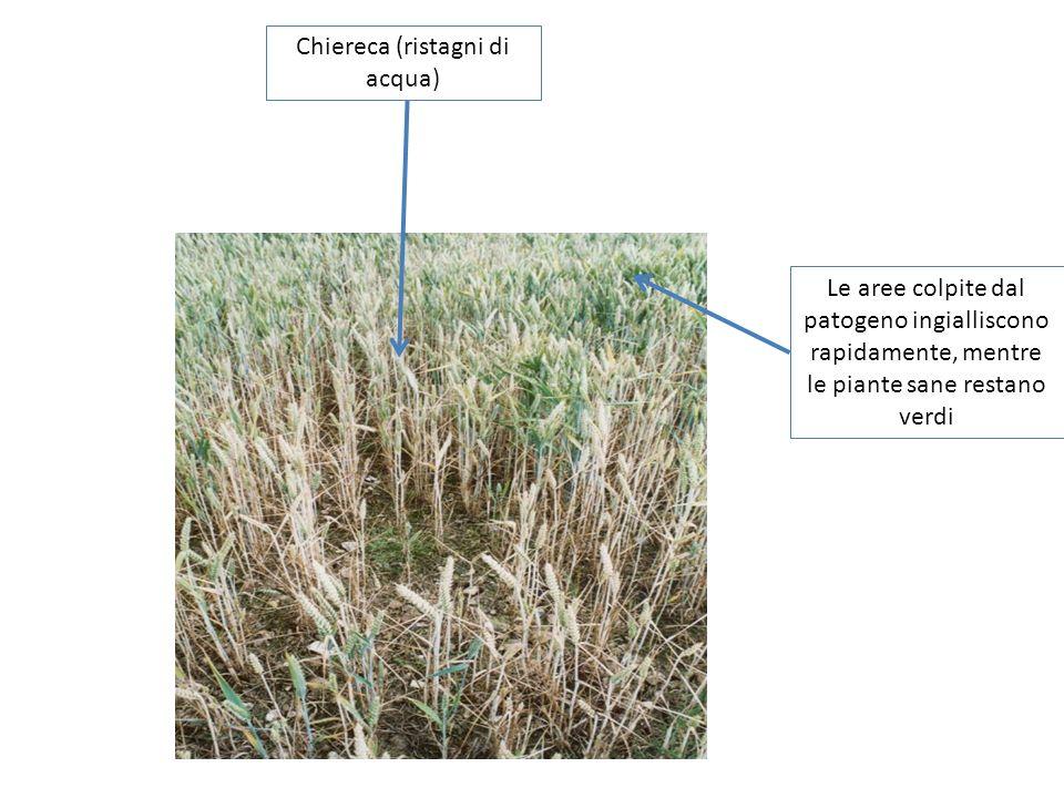 Chiereca (ristagni di acqua) Le aree colpite dal patogeno ingialliscono rapidamente, mentre le piante sane restano verdi