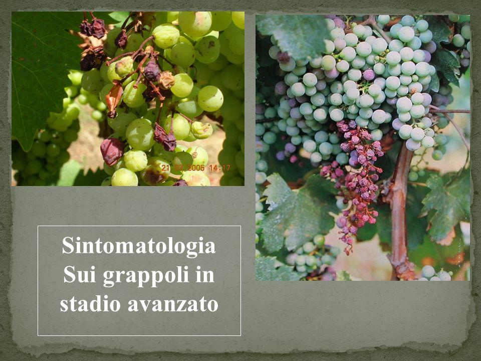 Sintomatologia Sui grappoli in stadio avanzato