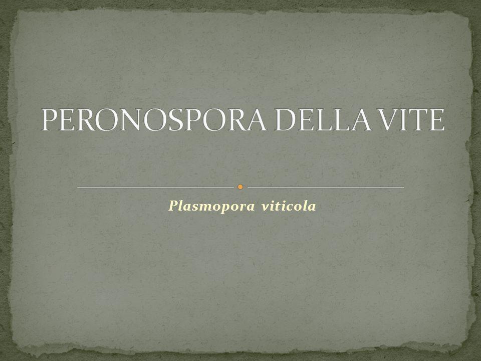 Plasmopora viticola