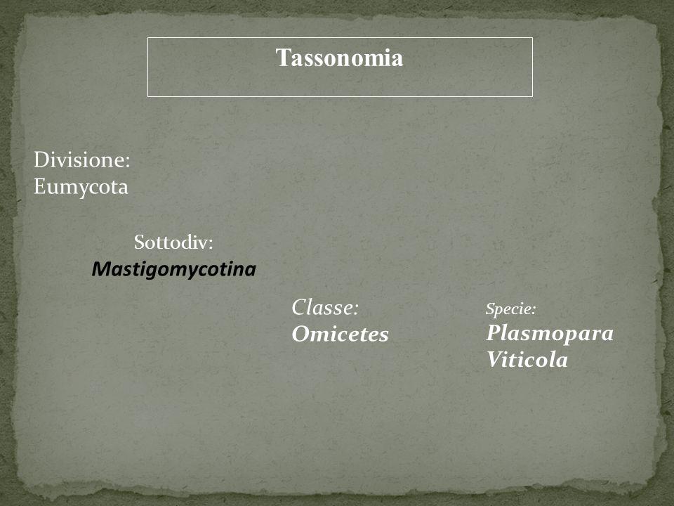 Tassonomia Divisione: Eumycota Sottodiv: Mastigomycotina Classe: Omicetes Specie: Plasmopara Viticola