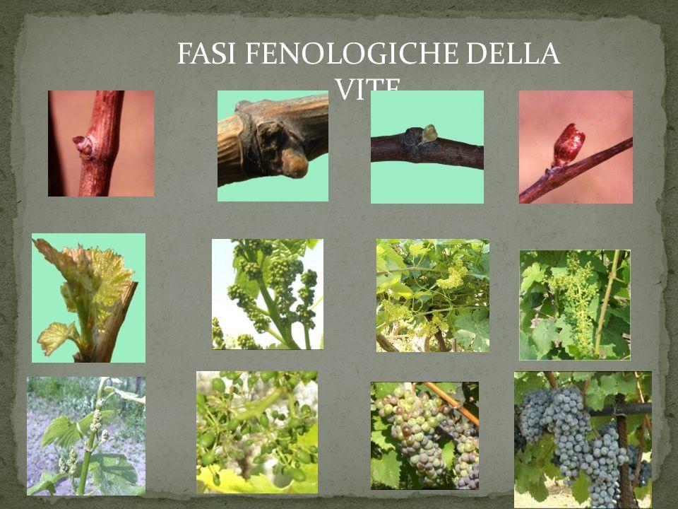 FASI FENOLOGICHE DELLA VITE