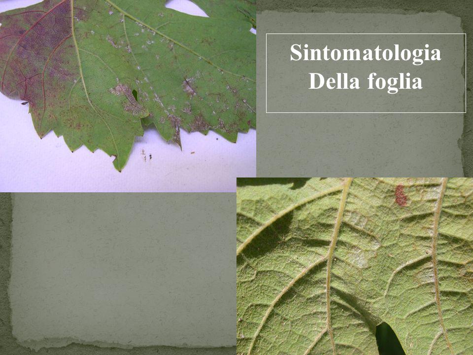 Sintomatologia Della foglia