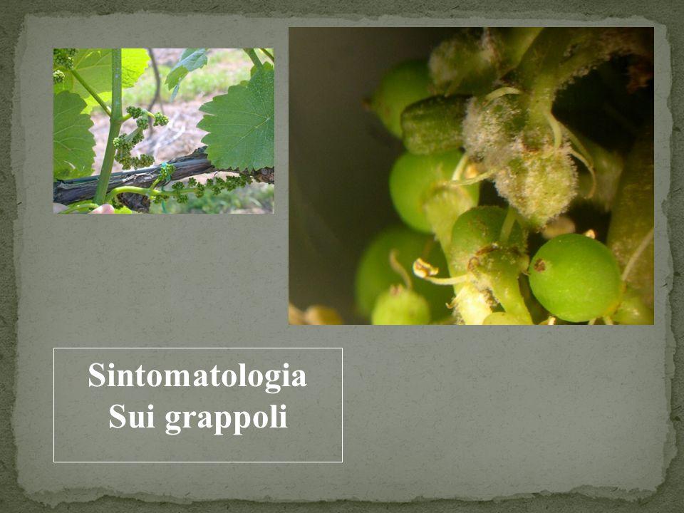 Sintomatologia Sui grappoli