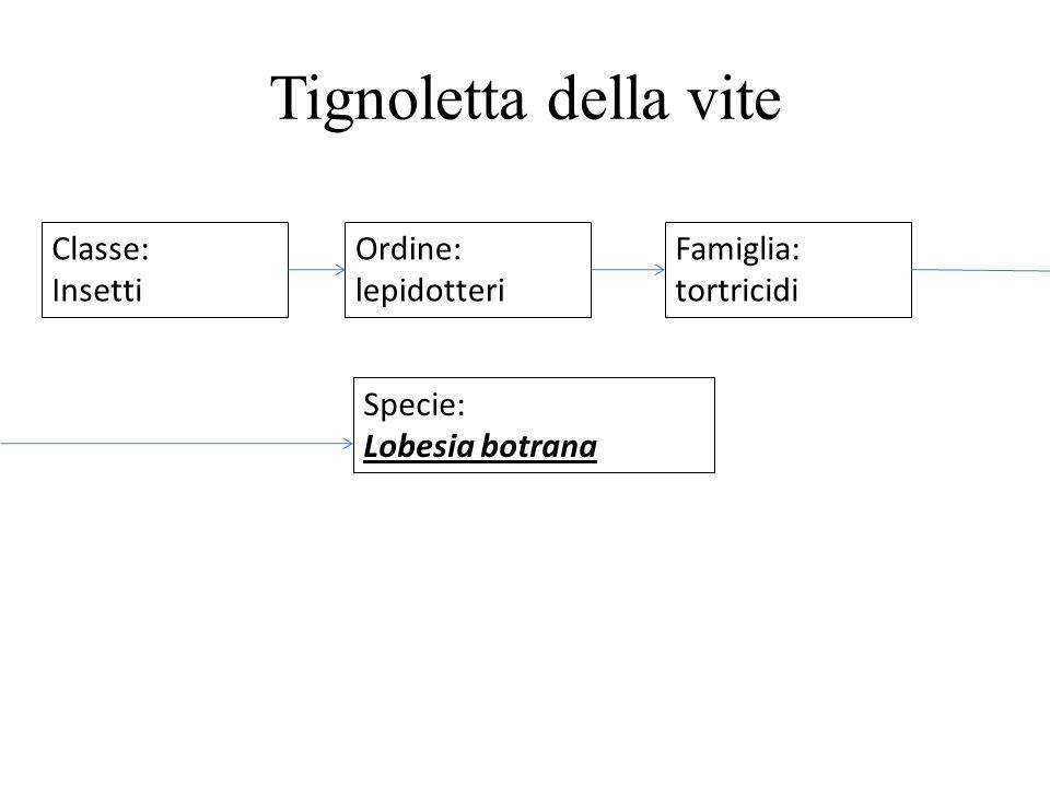 Tignoletta della vite Classe: Insetti Ordine: lepidotteri Famiglia: tortricidi Specie: Lobesia botrana