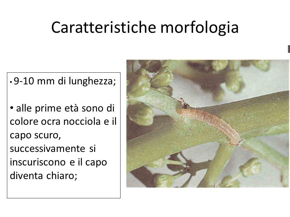 Danni provocati dalle larve; Prima generazione antofoga, con formazione di nidi nelle infiorescenze; Generazione meno dannosa.
