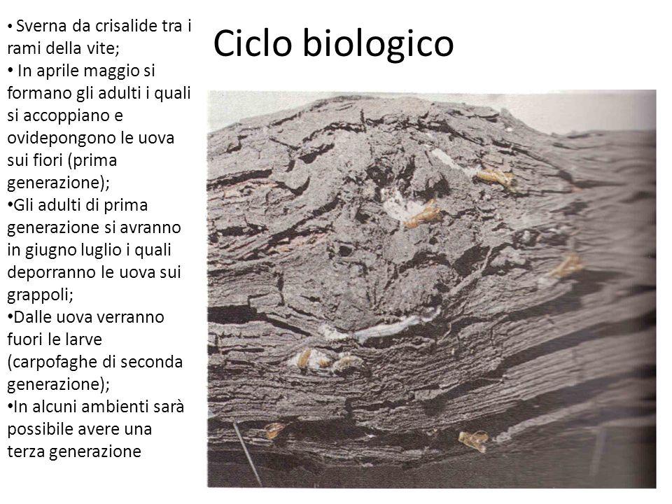 Lotta Monitoraggio Lotta di tipo biologica Sui grappoli (100 ad ha); per ogni generazione Bacillus thuringiensis ssp.