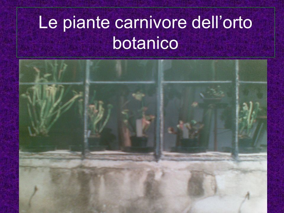 Caratteri generali Le piante carnivore dellOrto Botanico sono situate alla destra della palma di Goethe, in una piccola serra.