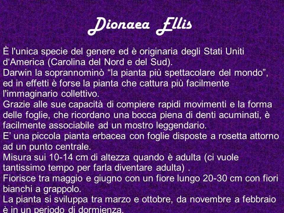 Dionaea Ellis È l'unica specie del genere ed è originaria degli Stati Uniti dAmerica (Carolina del Nord e del Sud). Darwin la soprannominò la pianta p
