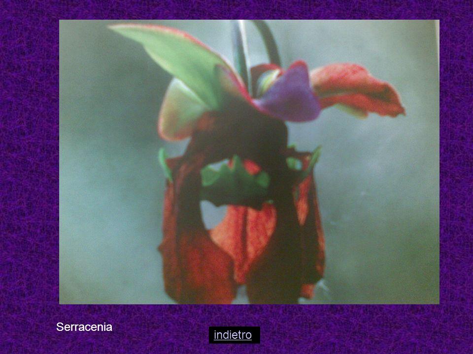 Sarracenia L.Tipica del nord America, con fiori profumati e piegati verso il basso.