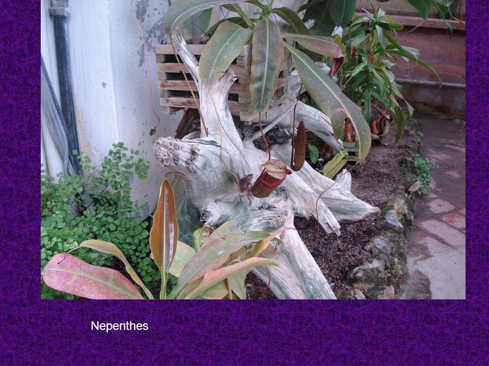 Nepenthes L.Questa pianta proviene dalle Isole Filippine, dalla Malesia e dal Borneo.
