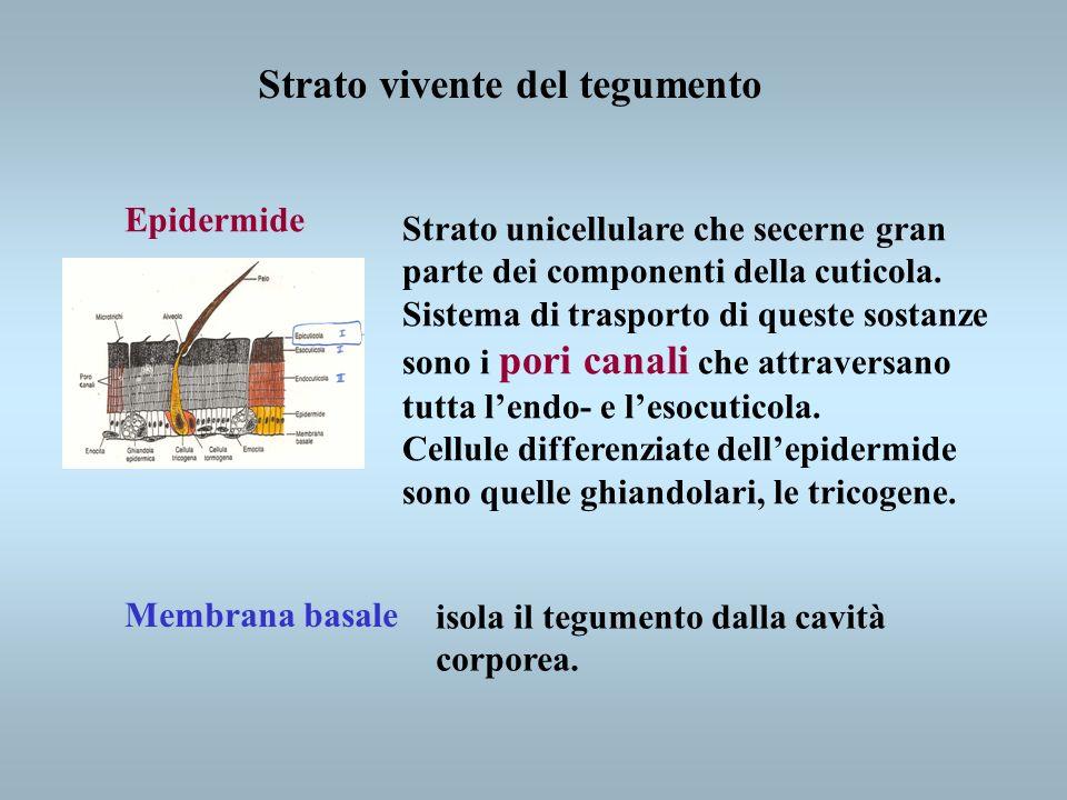 Strato vivente del tegumento Epidermide Membrana basale Strato unicellulare che secerne gran parte dei componenti della cuticola. Sistema di trasporto