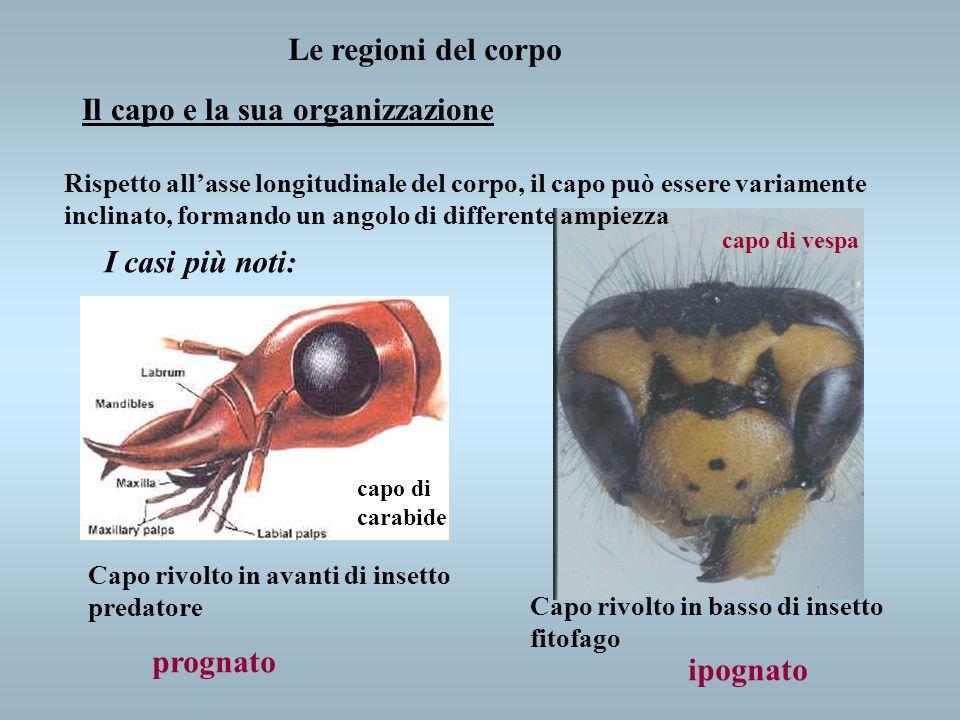 Le regioni del corpo Il capo e la sua organizzazione Capo rivolto in avanti di insetto predatore Capo rivolto in basso di insetto fitofago Rispetto al