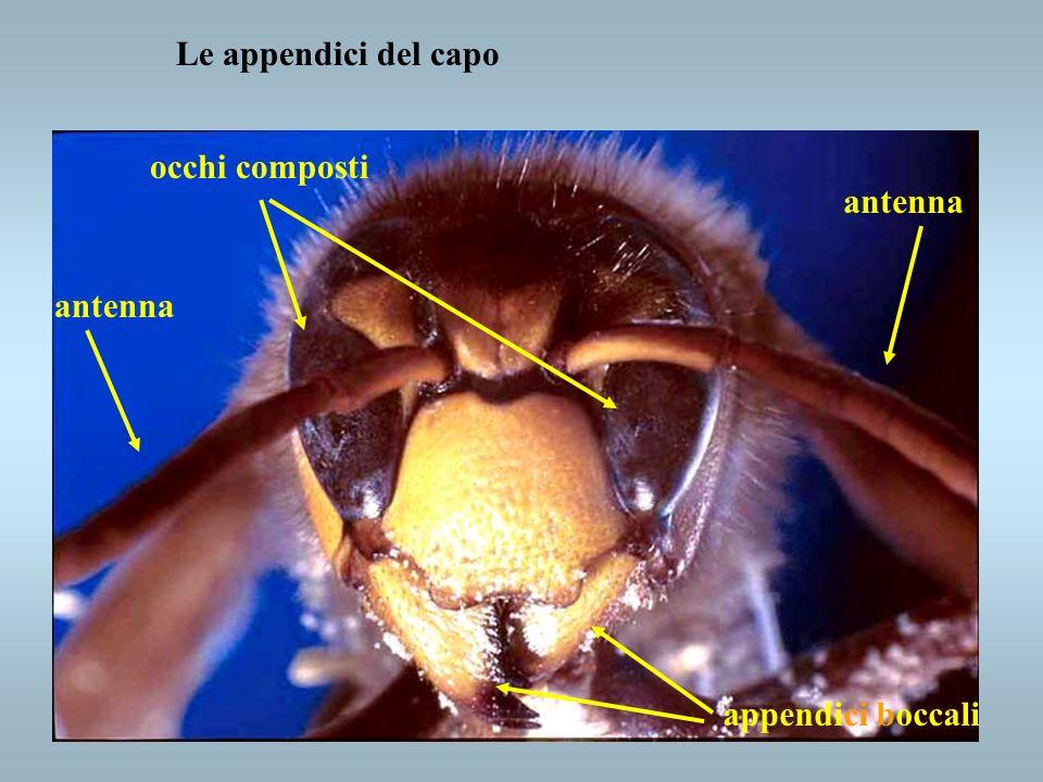 Le appendici del capo appendici boccali antenna occhi composti