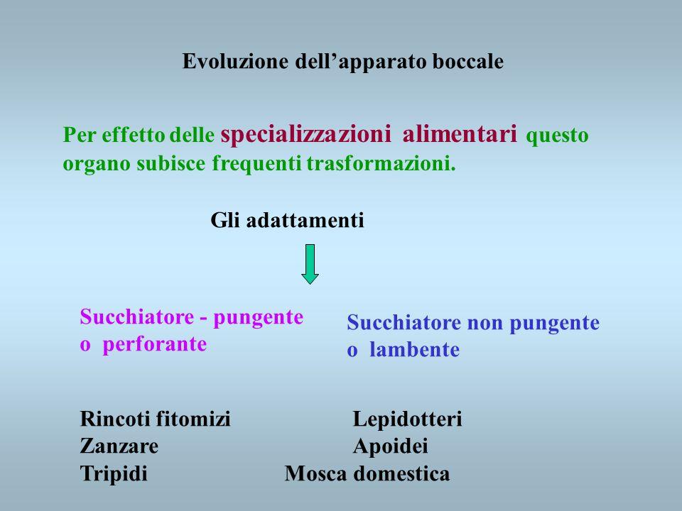 Evoluzione dellapparato boccale Per effetto delle specializzazioni alimentari questo organo subisce frequenti trasformazioni. Gli adattamenti Succhiat