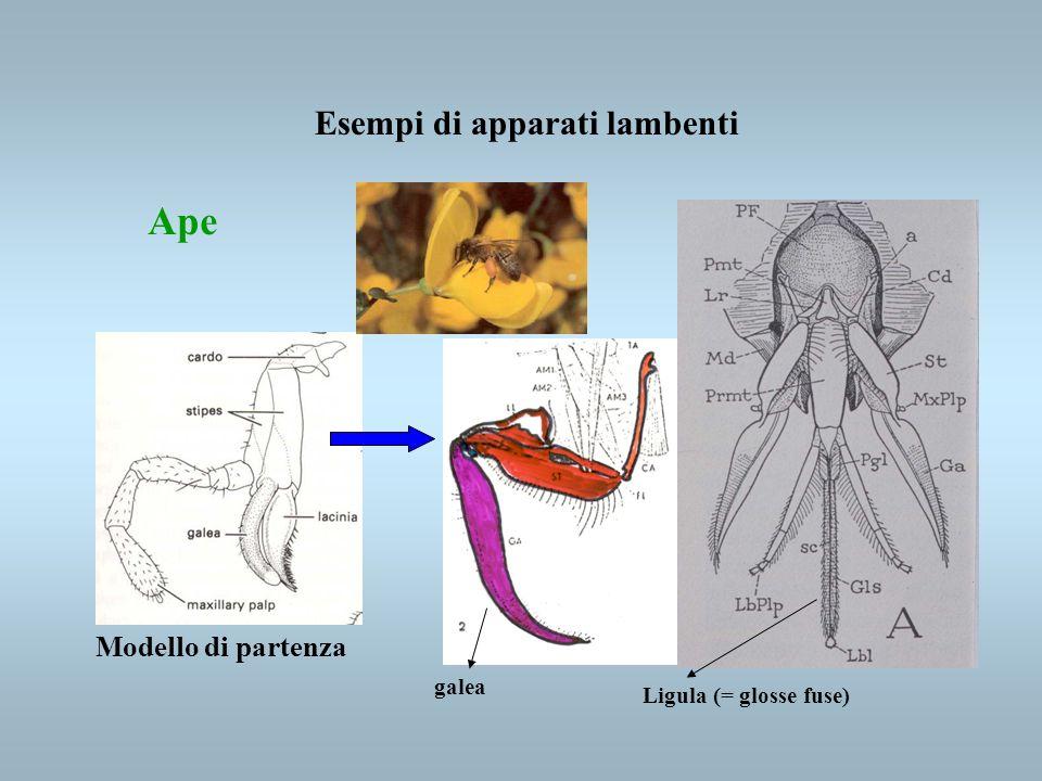 Esempi di apparati lambenti Ape Modello di partenza galea Ligula (= glosse fuse)