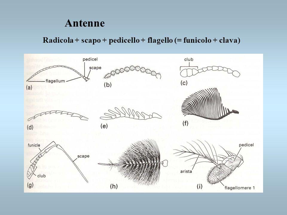 Antenne Radicola + scapo + pedicello + flagello (= funicolo + clava)
