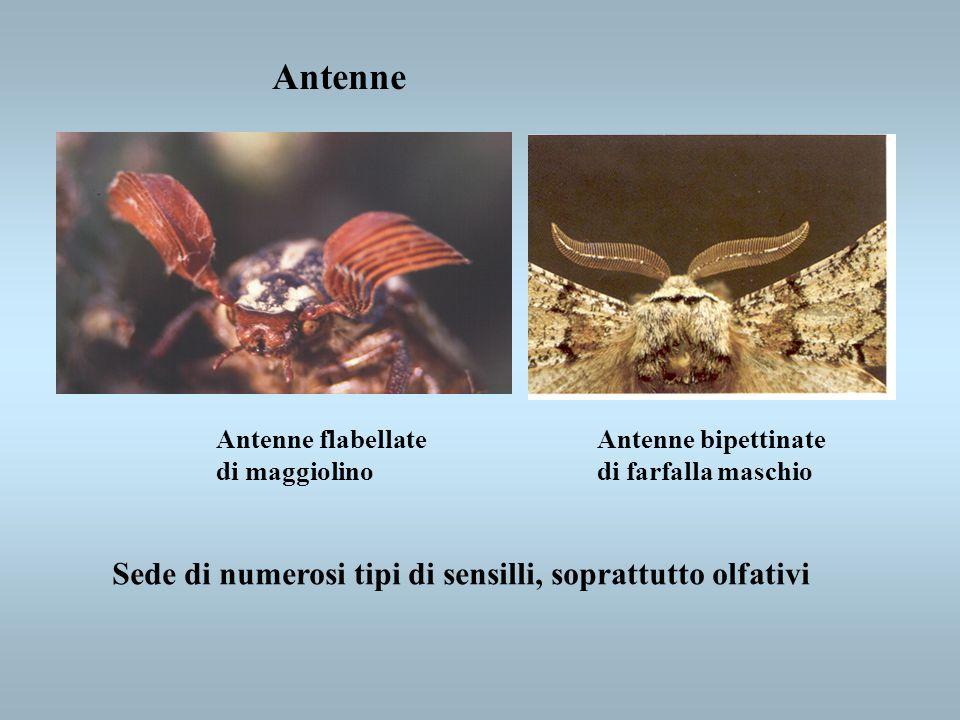 Antenne Antenne flabellate di maggiolino Antenne bipettinate di farfalla maschio Sede di numerosi tipi di sensilli, soprattutto olfativi