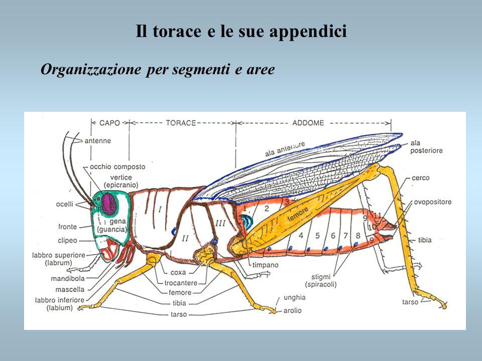 Organizzazione per segmenti e aree Il torace e le sue appendici