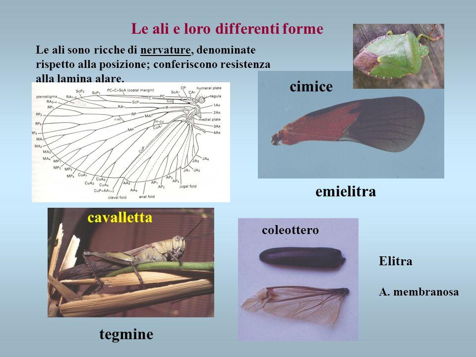 Le ali e loro differenti forme emielitra Elitra A. membranosa tegmine Le ali sono ricche di nervature, denominate rispetto alla posizione; conferiscon