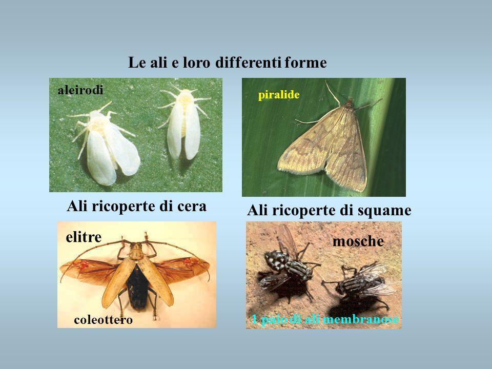 Le ali e loro differenti forme Ali ricoperte di cera Ali ricoperte di squame 1 paio di ali membranose elitre coleottero mosche aleirodi piralide