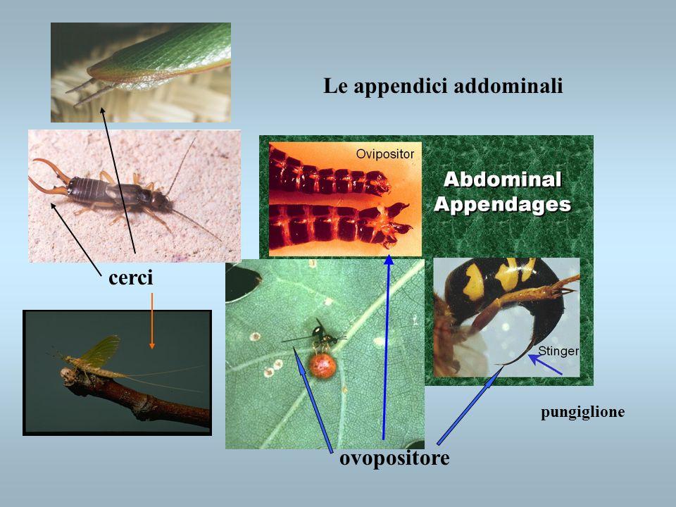 Le appendici addominali cerci ovopositore pungiglione
