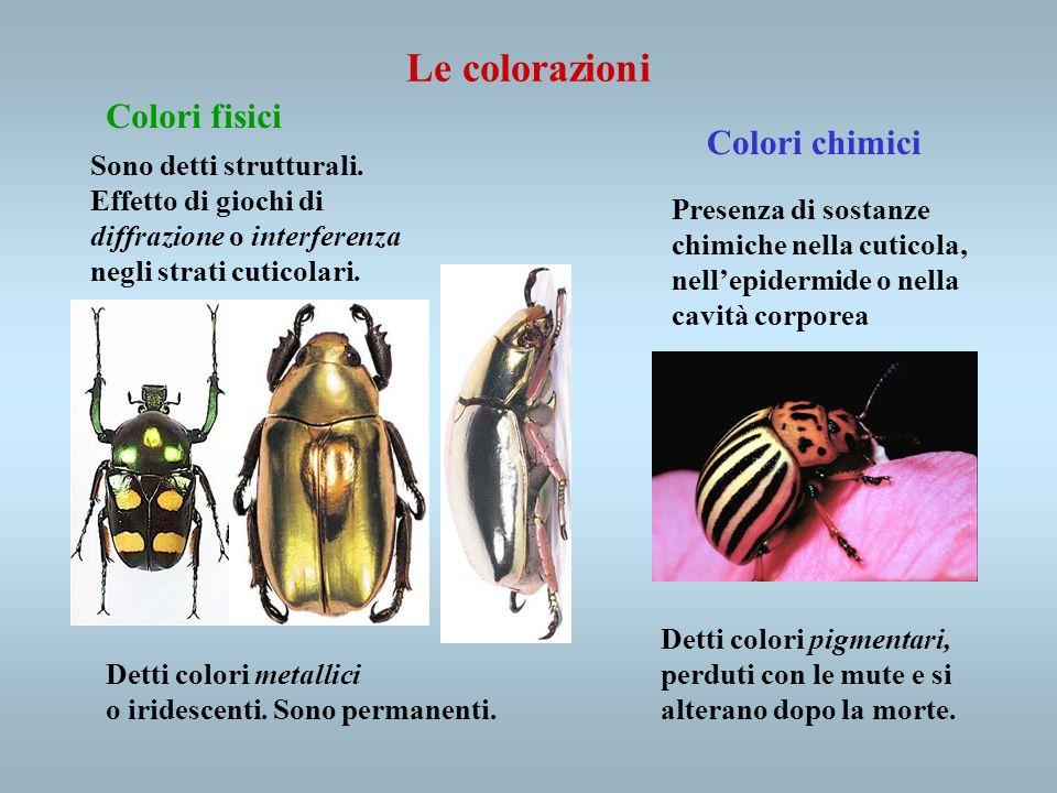 Colori fisici Colori chimici Sono detti strutturali. Effetto di giochi di diffrazione o interferenza negli strati cuticolari. Detti colori metallici o