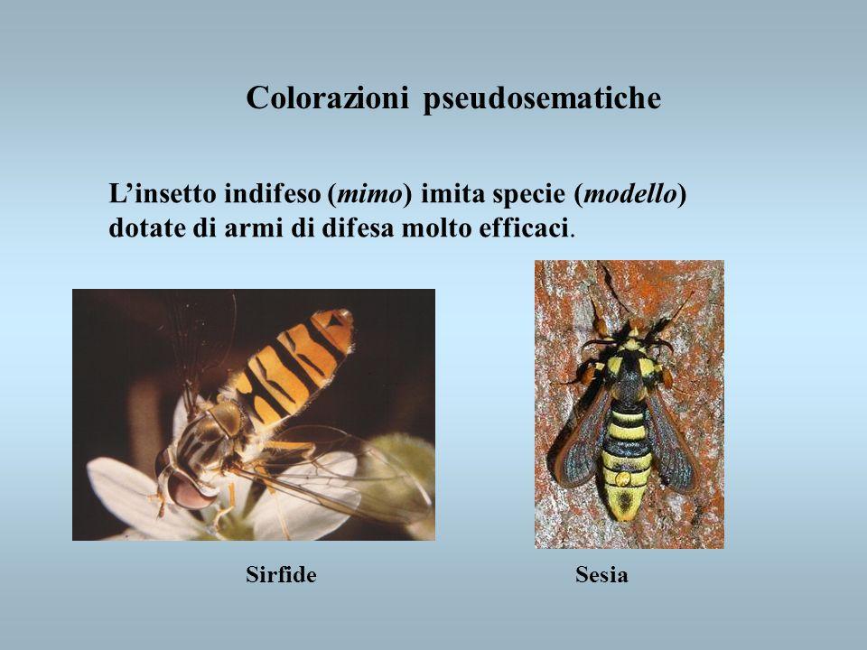 Colorazioni pseudosematiche Linsetto indifeso (mimo) imita specie (modello) dotate di armi di difesa molto efficaci. SirfideSesia