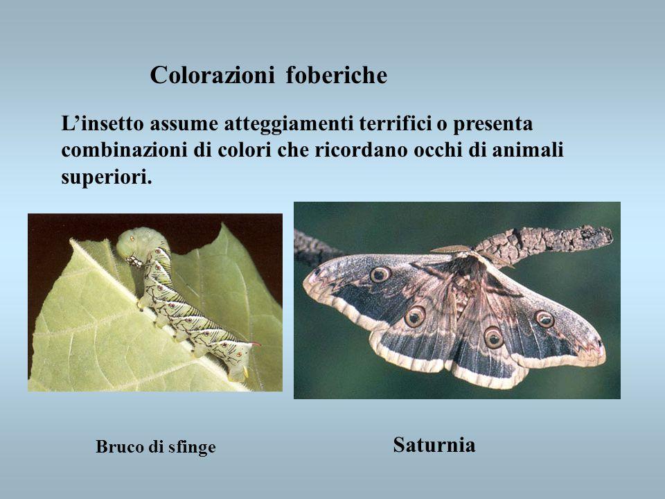 Colorazioni foberiche Linsetto assume atteggiamenti terrifici o presenta combinazioni di colori che ricordano occhi di animali superiori. Bruco di sfi