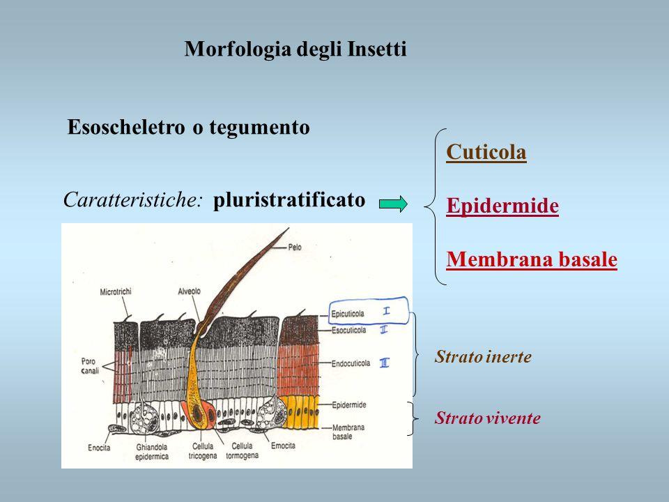 Morfologia degli Insetti Esoscheletro o tegumento Caratteristiche:pluristratificato Cuticola Epidermide Membrana basale Strato inerte Strato vivente
