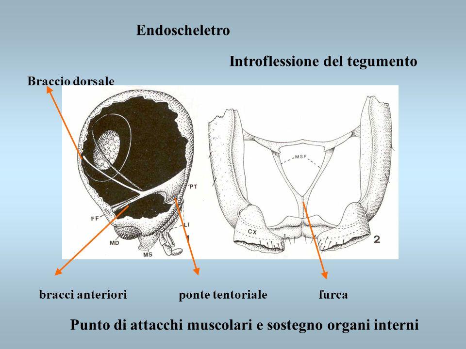 Endoscheletro bracci anterioriponte tentorialefurca Braccio dorsale Introflessione del tegumento Punto di attacchi muscolari e sostegno organi interni