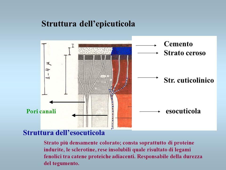 Struttura dellendocuticola È lo strato più spesso; è incolore, molle e lamellare, dovuto alle cuticoline non sclerotizzate.